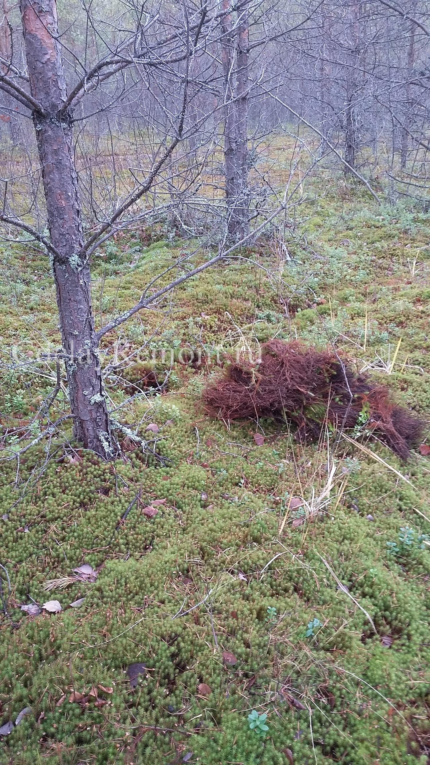 Сбор мха в лесу