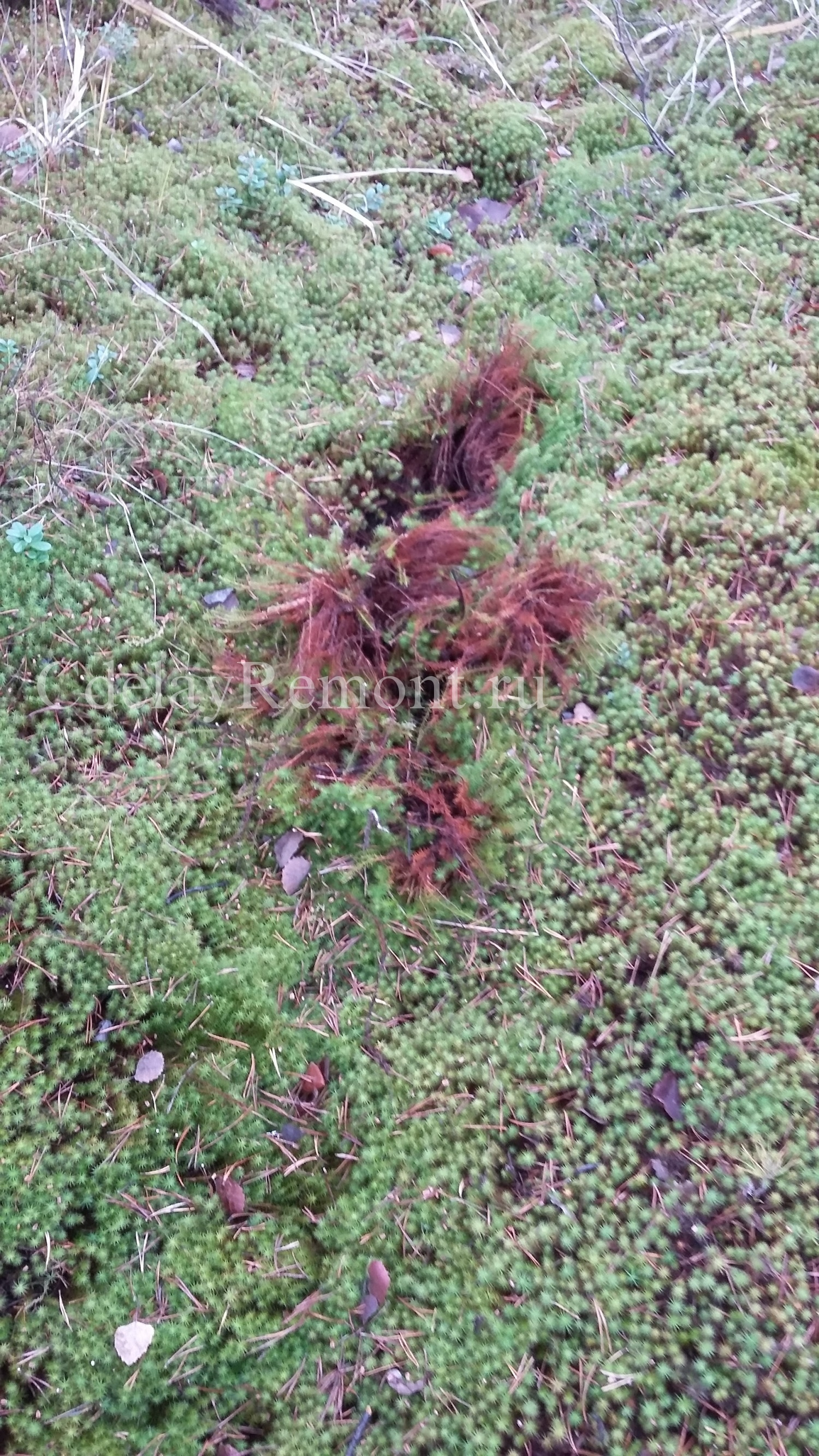 Внешний вид мха «кукушкин лен»